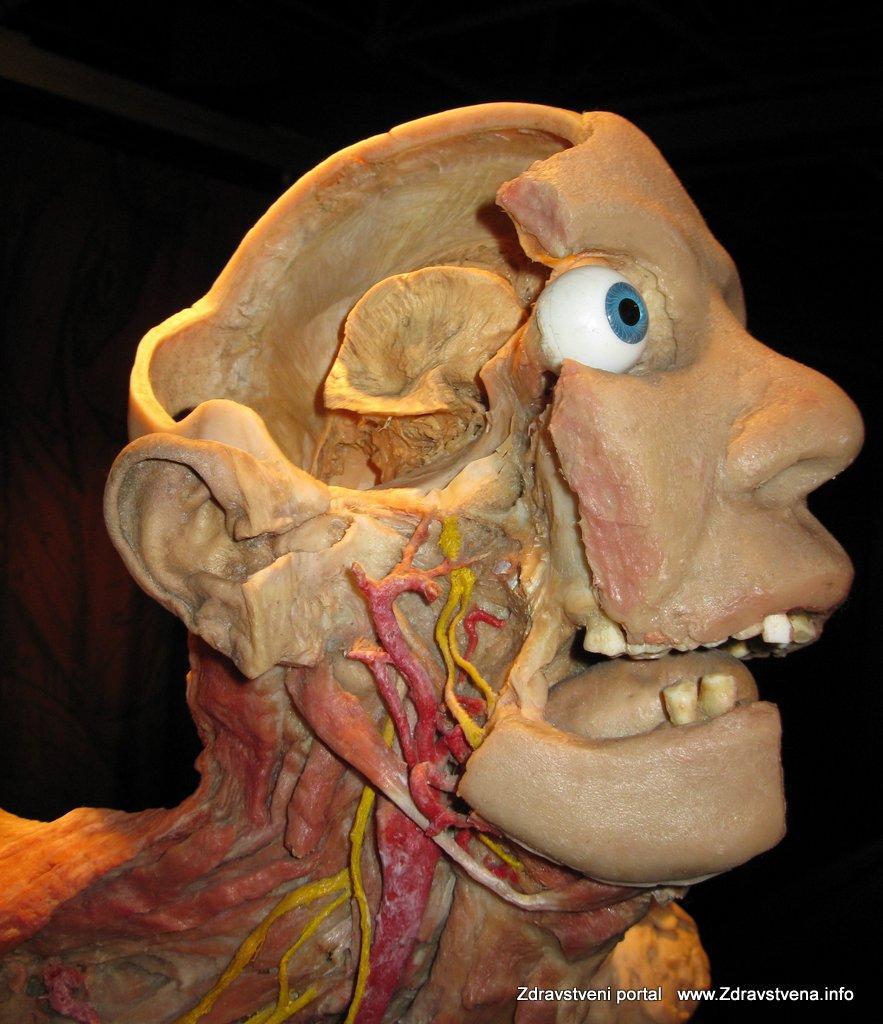 Clovesko-telo-anatomija-clovek-4
